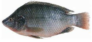 The Tilapia, a fish farming champion.